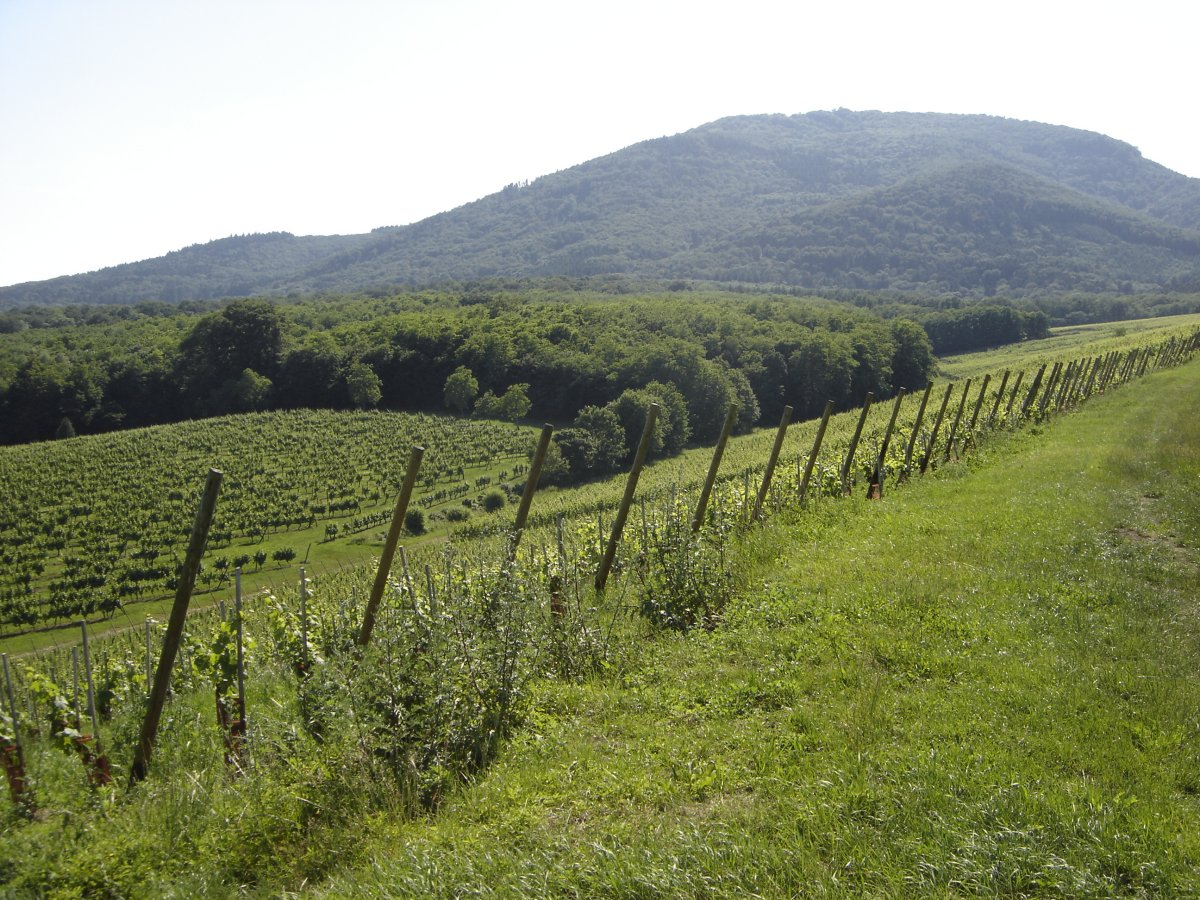 Hiking route: Wuenheim Wine Trail