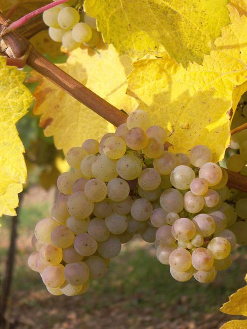 Riesling, Pays de Rouffach, Vignobles et Châteaux, Haut-Rhin, Alsace