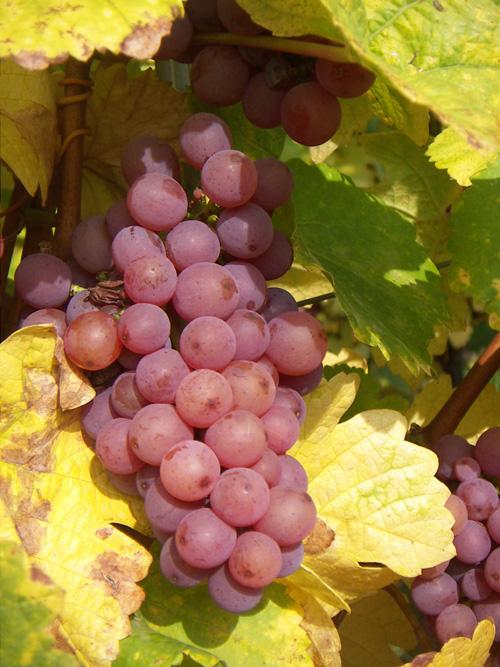 Gewurztraminer, Pays de Rouffach, Vignobles et Châteaux, Haut-Rhin, Alsace