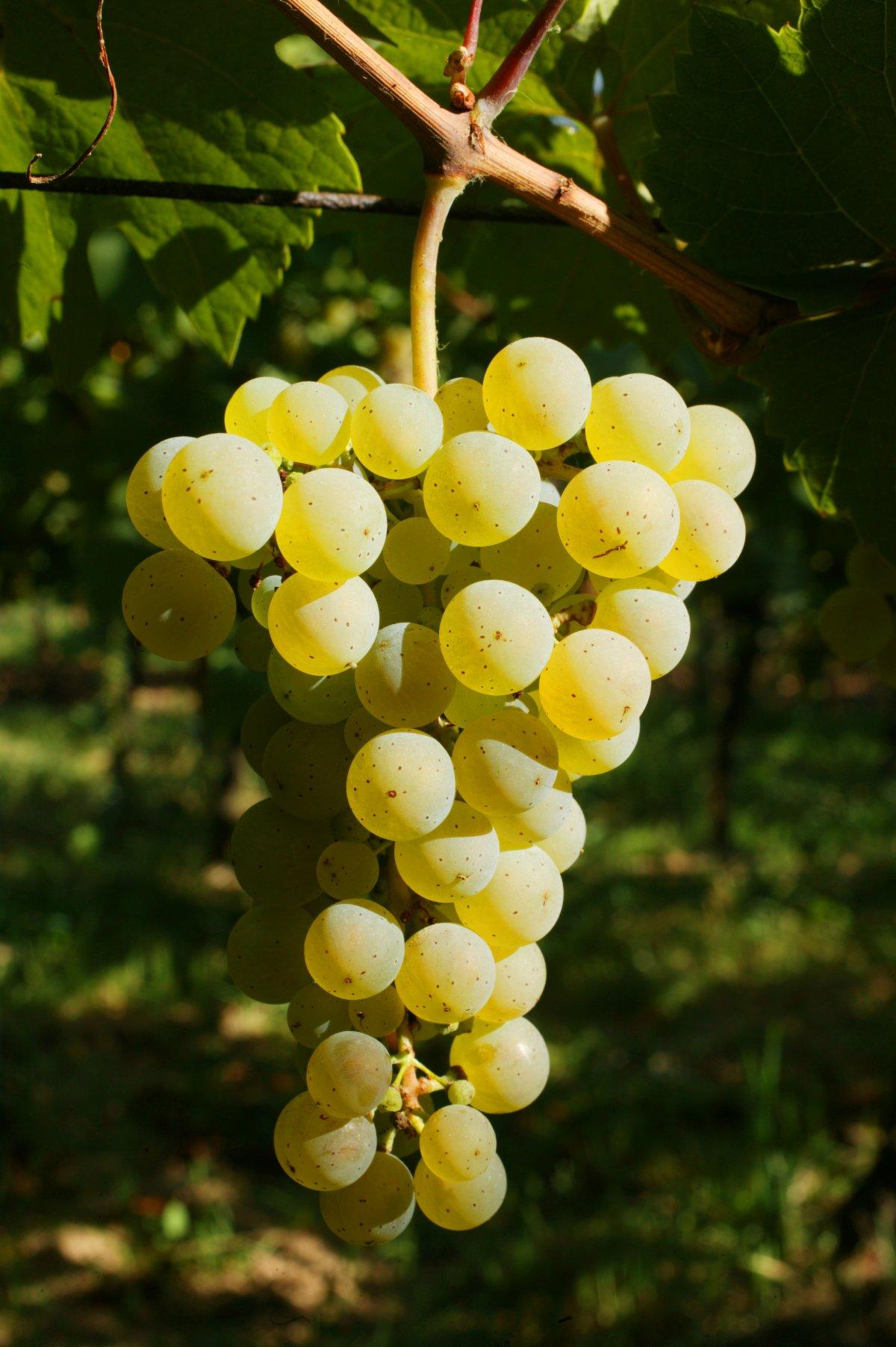 © ZVARDON Alsace Wines Council