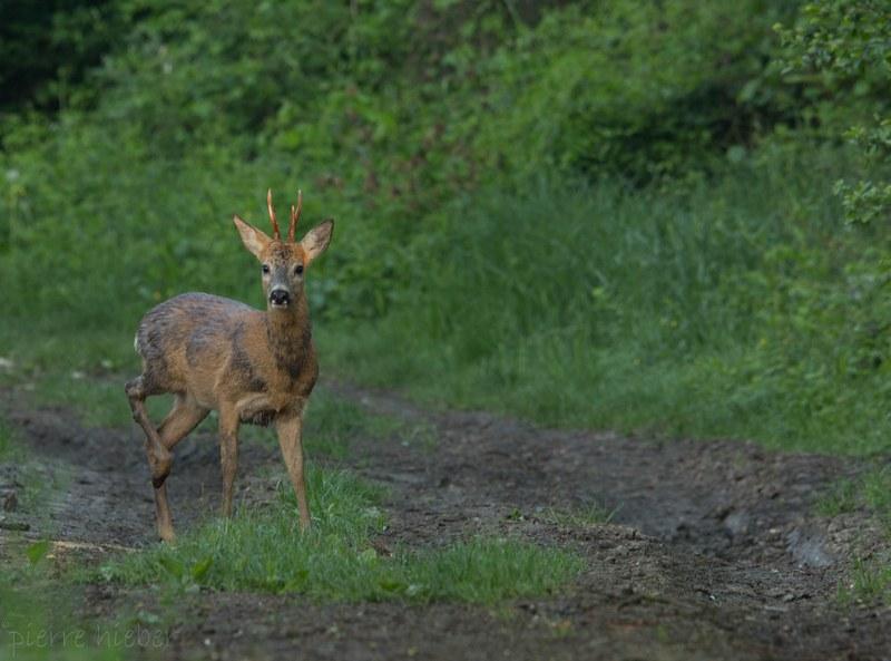 Alsace Écotourisme - Le réveil des chevreuils