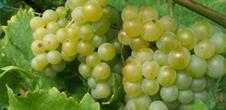 Sortie viticole et visite de cave commentée