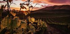 Gourmet stroll at dusk in the vineyards