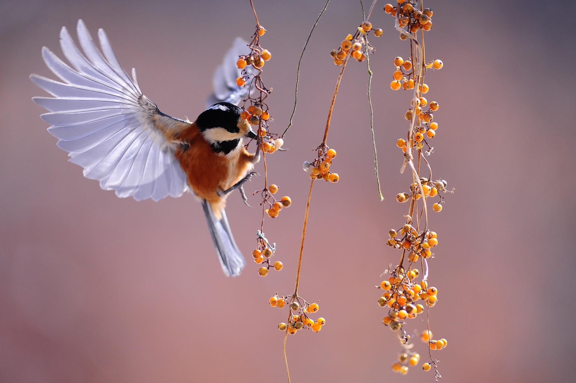 A la découverte des oiseaux chanteurs d'Asie
