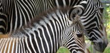 Kids' workshop: Grévy zebras