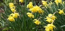 Daffodils Feast