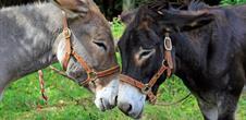 Fest'âne, Festival der Esel