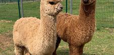 Balade avec des lamas