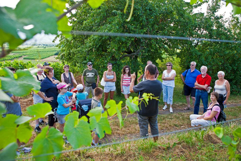 Stroll and wine tasting through the vineyards of Bernardswiller