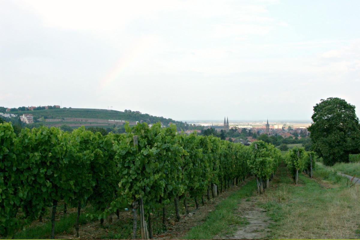 Sentier viticole de Bernardswiller