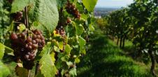 Wine trail of Obernai