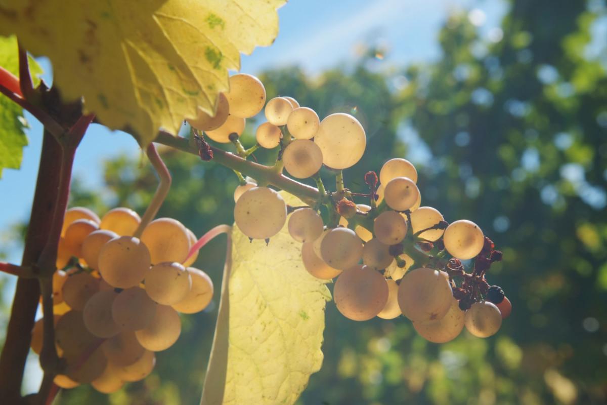 Wine trail of Obernai