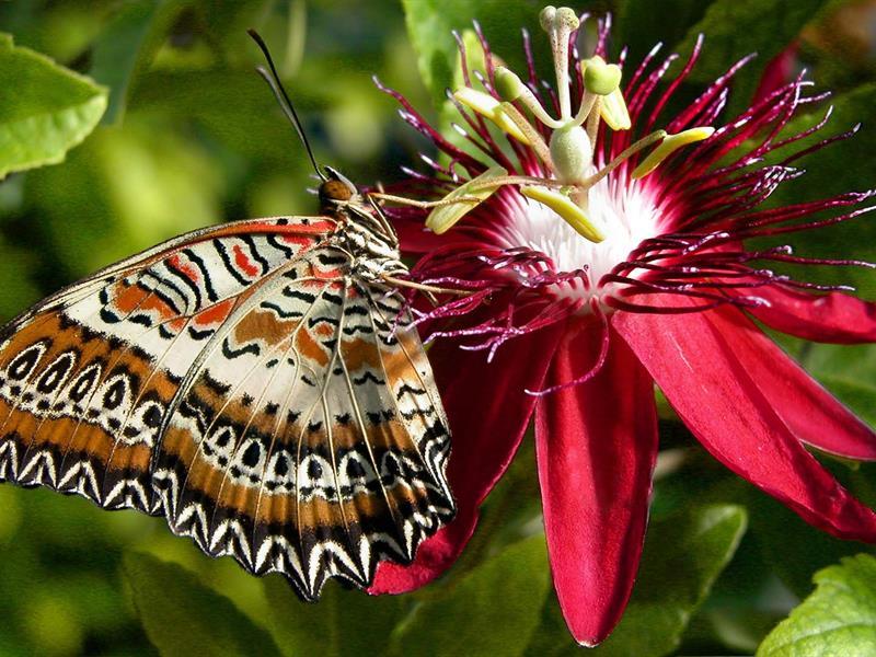 Papillo Lycophron du Pérou - crédit photo : jardin des papillons