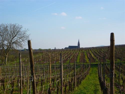 Sentier viticole de Bergheim