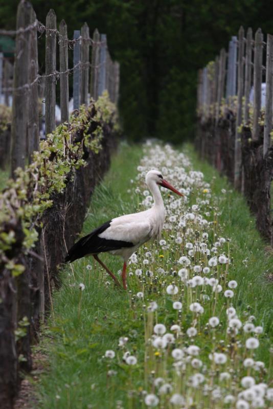 Une cigogne dans le vignoble