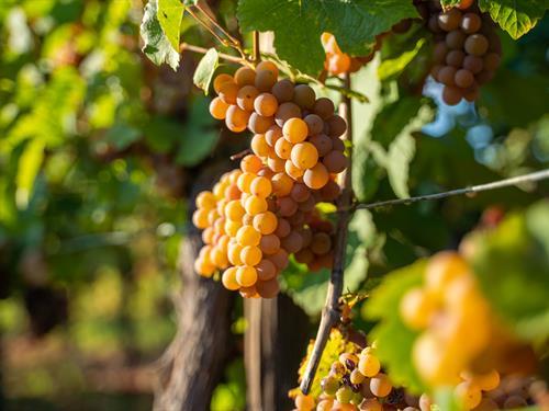 Découverte du patrimoine viticole de Bergheim