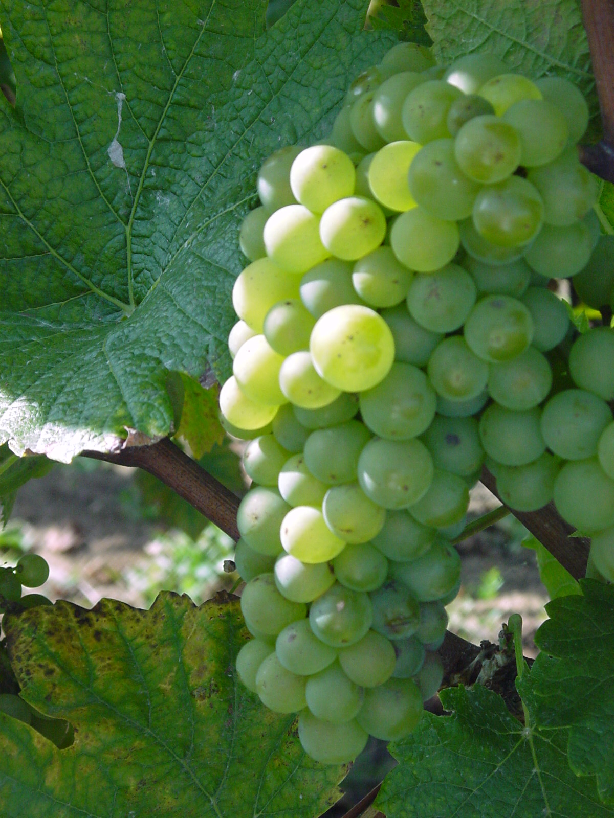 L'évolution des techniques viticoles et agricoles : visite de cave et tour du matériel