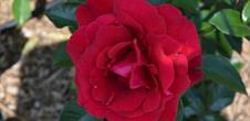 La roseraie du Neuland