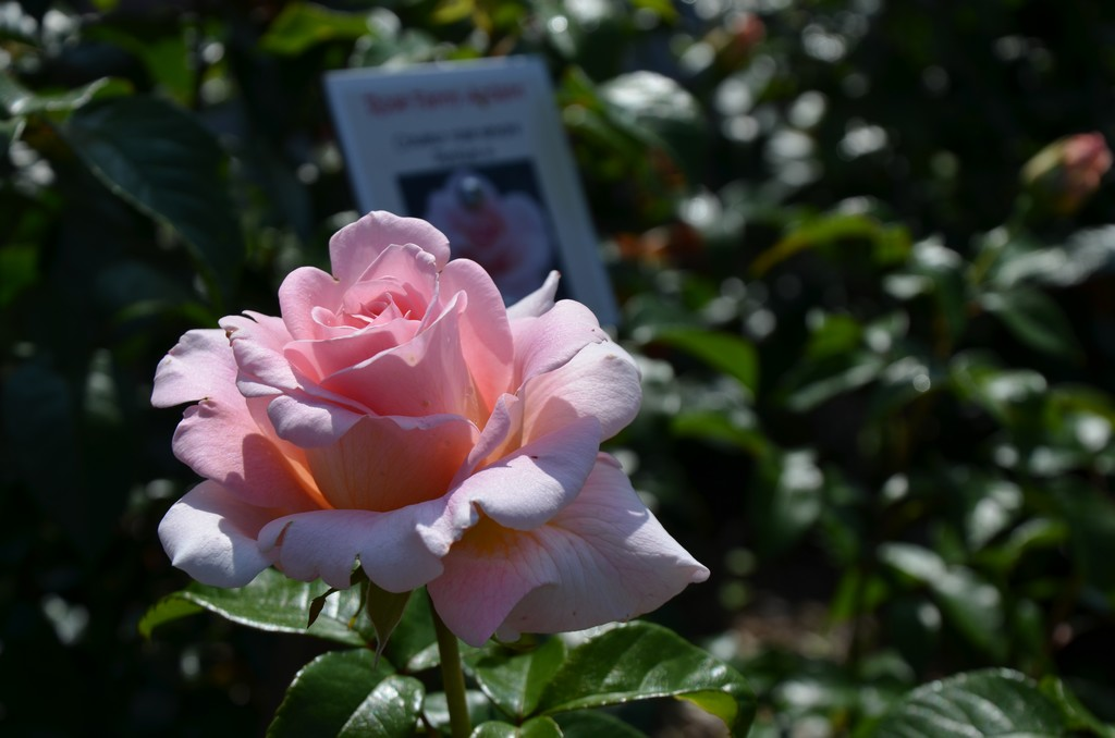 "Rosengarten ""Roseraie du Neuland"""