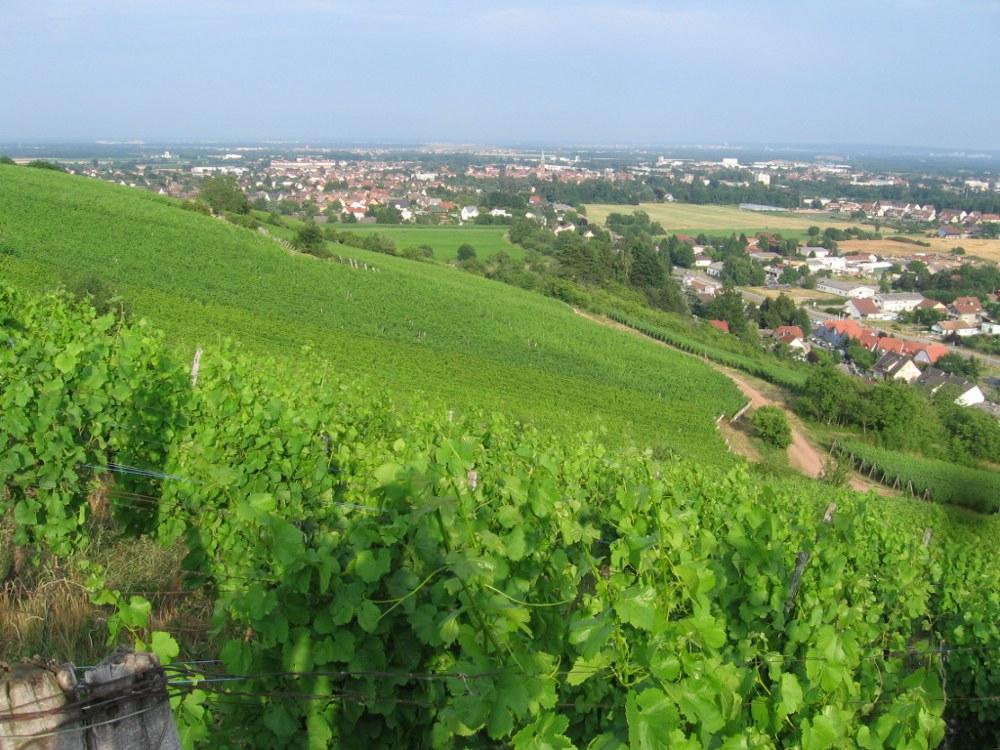 Circuit : Le vignoble de Steinbach