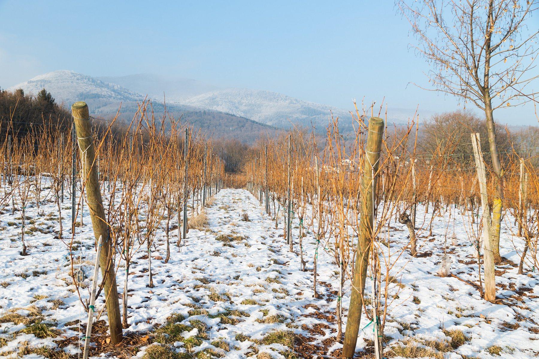 Le sentier viticole c te 425 steinbach - Office de tourisme de cernay ...
