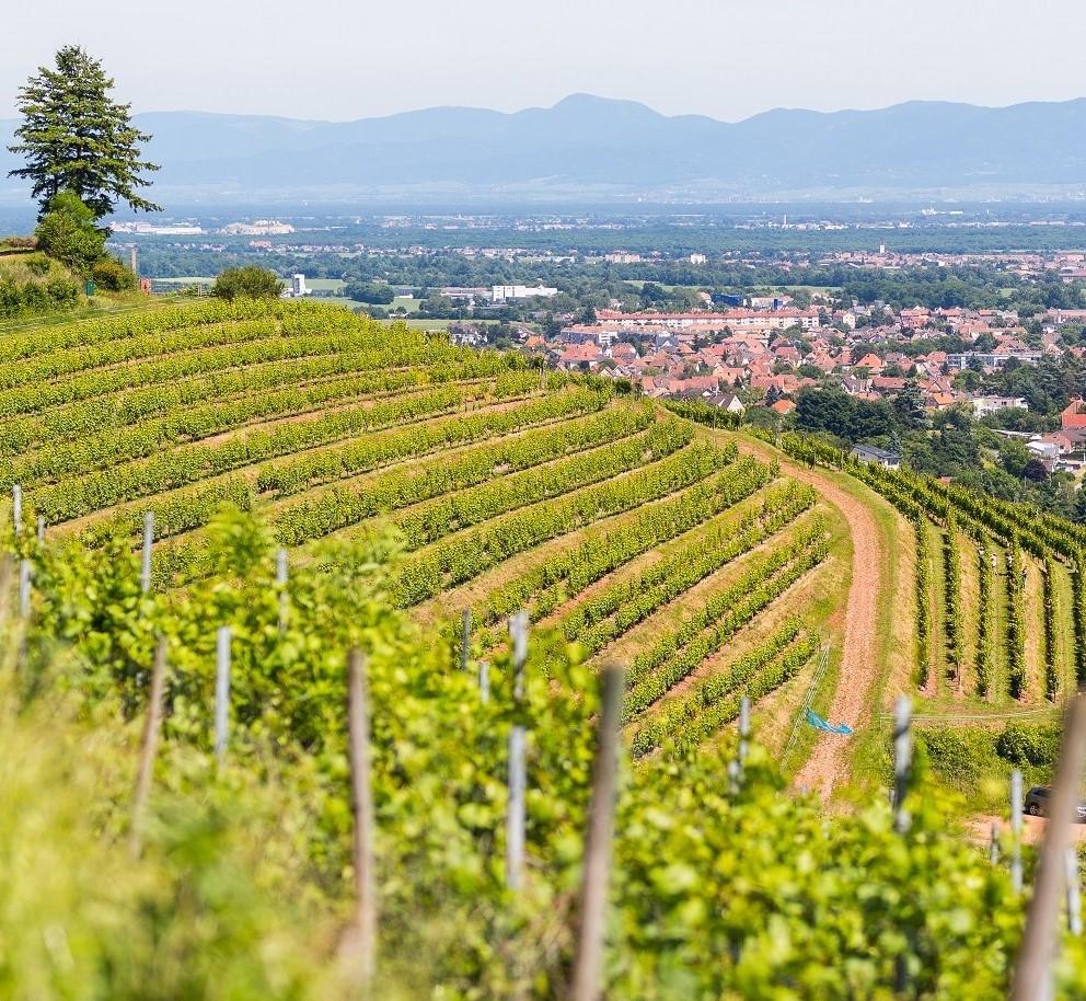 Wine trail Cote 425 in Steinbach