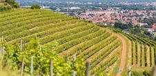 Sentier viticole Cote 425 à Steinbach