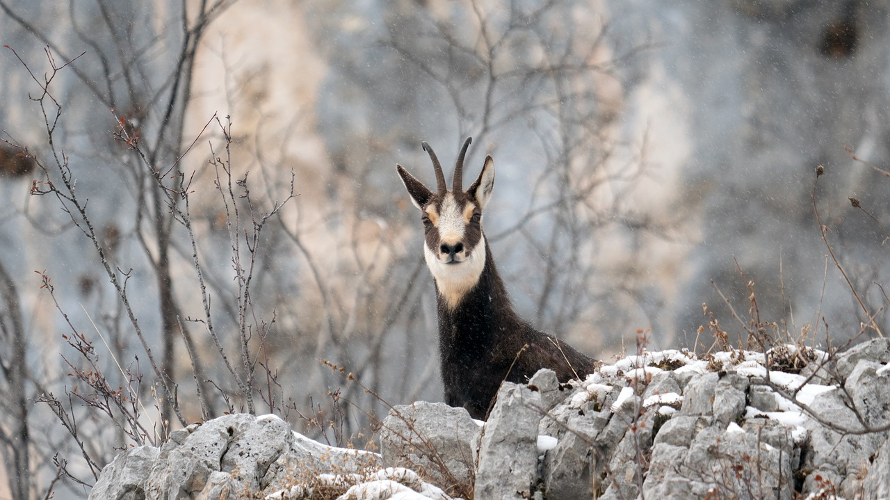 Balade : à la rencontre des chamois