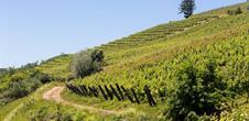 Balade découverte : le sentier viticole Cote 425