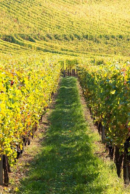Balade pédestre et dégustation de vin dans le vignoble d'Alsace à la Cave du Roi Dagobert